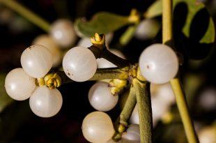 grow your own mistletoe