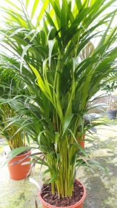 Non toxic plants that are safe around pets and children for Large non toxic house plants